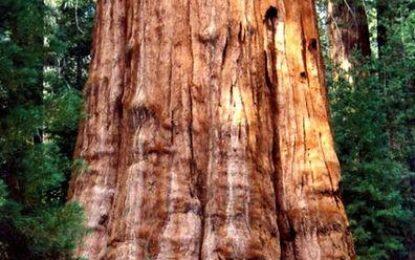 Cel mai mare copac din lume, acoperit cu folie termoizolantă pentru a supraviețui incendiilor de vegetație Citeşte întreaga ştire: Cel mai mare copac din lume, acoperit cu folie termoizolantă pentru a supraviețui incendiilor de vegetație